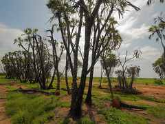 Shadeless doum palms (igor29768) Tags: doum palm tree dry river tsavo africa kenya sunlight silhouette panasonic leica lumix 818mm