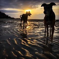 Late beach walk (GI Les) Tags: beach sand reflection sunset lurchers brittany roscoff