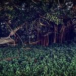 Sous le banian au bord du Diahot 🍃🌳 thumbnail