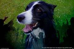 I'm up for all the Apaws (ASHA THE BORDER COLLiE) Tags: funny dog picture caption border collie applause ashathestarofcountydown connie kells county down photography