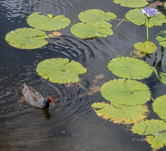 Unexpected (but welcome) guest (idunbarreid) Tags: duskymoorhen water lily