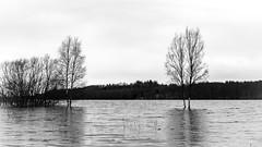DSC_6711 (stefanh.varberg) Tags: 16mars oklången björk björkar landsbygd landskap sjö skogen spegling svartvit träd vatten översvämmning