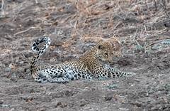 Catching flies (Tris Enticknap) Tags: leopard africanleopard cat pantherapardus pantheraparduspardus southluangwa