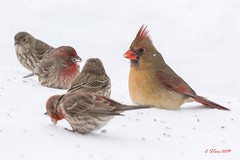 003 female red cardinal and friends (starc283) Tags: canon cardinal red flickr flicker female starc283 natures finest nature nebraska bird birding birds winter snow white background animal watcher macro femaleredcardinal redcardinal naturewatcher naturesfinest