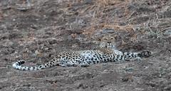 Yes? (Tris Enticknap) Tags: africa zambia cat southluangwa africanleopard leopard pantherapardus pantheraparduspardus
