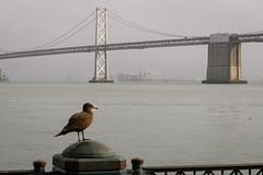 Heermann's Gull (phoca2004) Tags: firstcycle immature nikon z6 ferrybuilding sanfrancisco gull heermann'sgull larusheermannii