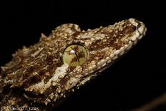 Northern leaf-tailed gecko (Saltuarius cornutus) (edward.evans) Tags: northernleaftailedgecko leaftailedgecko saltuariuscornutus reptile lizard gecko gekkonidae cairns farnorthqueensland queensland australia herp herping fnq saltuarius cornutus