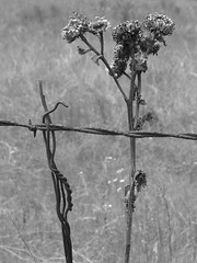 1320 (jHc__johart) Tags: fence barbedwire monochrome bw weeds oklahoma