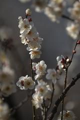 XT3B5556 (jojotaikoyaro) Tags: jindaiji zenpukuji tokyo japan fujifilm flower plum spring xt3 xf100400mm