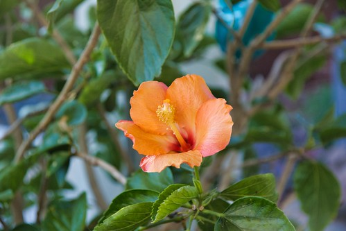 2019-01-24 - Nature Photography - Flowers - Hibiscus after Lunch