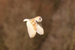 0M2A3735 2 Barn Owl (kevin_livesey) Tags: