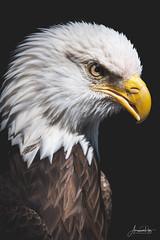 Trouble the eagle (AmaurieRaz) Tags: fuji fujifilm xt3 50140mm baldeagle troubletheeagle portrait animal bird birdofprey auduboncenterforbirdsofprey florida