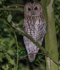 Tawny by the roadside (ukmjk) Tags: tawny owl bird nikon nikkor night d500 300mm pf f4 sb900 staffordshire stoke tree