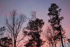 Trees With Pink And Blue Sky. (dccradio) Tags: lumberton nc northcarolina robesoncounty outdoor outdoors outside nature natural march spring springtime sunday sundayevening sundaynight evening silhouette tree trees treebranch branch branches treebranches treelimb treelimbs sky colorful colorfulsky sunset sunsetsky clouds pinkclouds bluesky nikon d40 dslr scenic woods wooded forest beauty beautiful pretty landscape