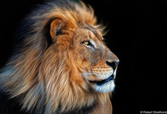 Fabio Fabulous (Robert Streithorst) Tags: bighair cincinnatizoo john leader lion male robertstreithorst zoosofnorthamerica bigcat