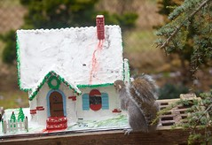 Squirrel bussy eating the Gingerbread house! (ineedathis, Everyday I get up, it's a great day!) Tags: squirrel eating garden 2018gingerbreadhouse snowman picketfence windows decor carrot eave roof royalicing buttons bricks gingerbreadhouse christmas christmastree snow miniature sugarwork gum paste modeling baking nikond750 weepingatlascedar tree ornamentaltree