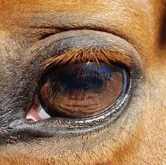 🐴👀👩 (claudia.pibiri) Tags: lashes shesgotmorelashesthanme eye brown orange pupil horse chestnut mare black sunny sun reflection