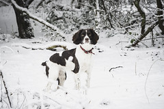 25W_8760 (Ian C. Robinson) Tags: snow english springer spaniel dog puppy pet photography gundog shooting fieldsports petphotography englishspringer springerspaniel gundogphotography