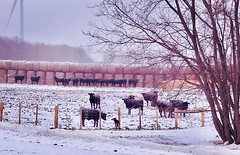 The new #farmscene around here. . . #curiosity (jessalynn_sammons) Tags: shotoncanon canon canoncanada fence farmscene field cattle dog curious bestfriend farmdog farm instagram ifttt