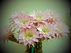 Blütentraum - Flowers dream (fleckchen) Tags: kaktus kakteen kaktusblüten kakteenblüten kaktusblüte cactus natur flower pflanze pflanzen plant