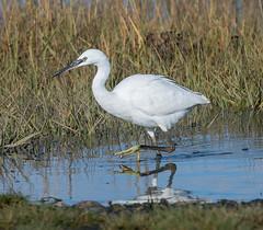 Riverside Little Egret
