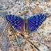 Brilliant Blue (Junonia rhadama), male