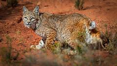 Doo, doo, doo, lookin' out my back door (Eric Gofreed) Tags: arizona bobcat lynxrufus mybackyard sedona