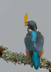 Un avant-gout des gilets jaunes ;-) (Régis B 31) Tags: alcedoatthis alcédinidés commonkingfisher coraciiformes martinpêcheurdeurope ariège bird domainedesoiseaux mazères oiseau