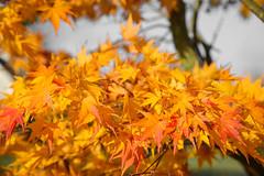 couleurs d'automne (quarashi56) Tags: automne feuilles feuille leaf autumn jardin garden red yellow jaune background