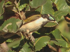 New Friend (CharlesLam) Tags: kclama bird australia bluefacedhoneyeater entomyzoncyanotis