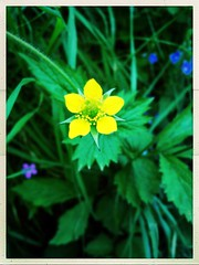 Wood Avens (Julie (thanks for 8 million views)) Tags: geumurbanum woodavens wildflower wexford ireland irish flora 100flowers2018 yellow green hss sliderssunday hipstamaticapp postprocessed iphonese flower nature beautiful colourful
