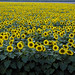 Colorful field of sunflowers near Beloit. Original image from Carol M. Highsmith's America, Library of Congress collection. Digitally enhanced by rawpixel.