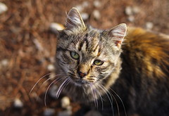 Feline eyes (Baubec Izzet) Tags: baubecizzet pentax bokeh portrait cat animal