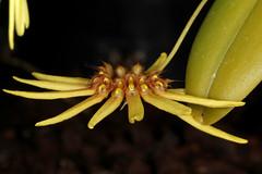 Bulbophyllum serratotruncatum 2018-10-05 01 (JVinOZ) Tags: orchid orchidspecies bulbophyllum