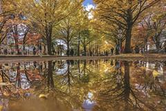 DSC_9537 (juor2) Tags: hokkaido university ginkgo autumn yellow campus nikon scene travel japan d4 reflection