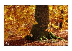Gold (Fujigraf) Tags: fuji xt20 55200mm gold farben herbst autum summer baum wurzel blatt ast boden sonne natur grün gelb licht schatten