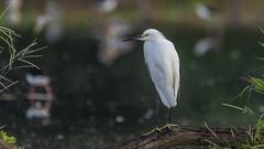 Snowy Egret (Mario Arana G) Tags: 7d ave bird birding cr canon canon7d costarica florayfauna marioarana nature photography puntarenas snowyegret wildlife