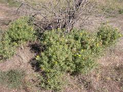 Saffron thistle, Carthamus lanatus  @ stock camp south Mt Majura nature reserve  DSCN4606