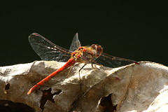 Common Darter dragonfly on Itchen Navigation nr Eastleigh, UK (Art-G) Tags: insect dragonfly commondarter itchennavigation eastleigh hampshire uk canon eos7dmkii 100400lisusm sundaylights