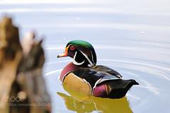 A kaleidoscope of colours. (KevinBJensen) Tags: waterfowl bird wildlife animal birds animals wild duck wood aix sponsa pato joyuyo anatidae ave aves birdlife portugal carolina