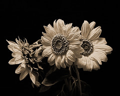 Three Sunflowers Black and White 0827 (Tjerger) Tags: nature beautiful beauty blackandwhite blackbackground blooming blooms boom closeup flora floral flower flowers macro plant portrait summer sunflower three toned trio wisconsin sunflowers natural