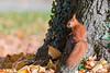 Hoernchen-2018-4133.jpg (Joachim Dobler) Tags: eichhörnchen eichhoernchen squirrel écureuil ardilla scoiattolo esquilo nature natur nagetier maple esquito wildlife animal cute naturephotography squirrellove wildlifephotography bestsquirrel nutsaboutsquirrels cuteanimals