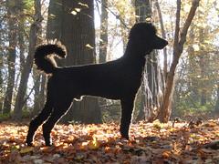 Roy (Frank Berbers) Tags: roy laika grotepoedel koningspoedel grandcaniche grospudel domesticanimal dog hond chien hund hoensbroek nikoncoolpixs9500