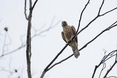 DSCF6472 (jojotaikoyaro) Tags: bird animal nature wildlife suginami tokyo japan fujifilm xh1 xf100400mm