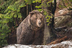 Grizzly Bear - If you go down to the woods today................ 501_0476.jpg (Mobile Lynn) Tags: nature landmammals bear grizzlybear fauna mammal mammals wildlife northvancouver britishcolumbia canada ca coth coth5 ngc npc