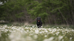 Ronnie in the meadow (Eduardo_il_Magnifico) Tags: ronnie ronniethekelpie dog pet animal park meadow flower daisy depthoffield dof walk exercise outdoors recreation armidale newengland newsouthwales nsw australia nikond750 tamron70200mmf28