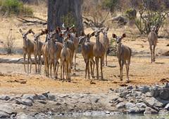 _DSC9556 (acomb) Tags: tanzania roadtrip kudu tandala ruaha