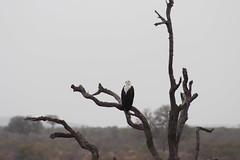Fish Eagle (Rckr88) Tags: krugernationalpark southafrica kruger national park south africa fish eagle fisheagle fisheagles eagles birds bird trees tree naturalworld nature outdoors wildlife