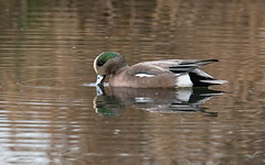 American Wigeon, Male (dennis_plank_nature_photography) Tags: americanwigeon avianphotography ridgefieldnwr birdphotography naturephotography ridgefield wa avian birds home nature