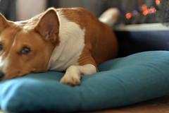 Scarlett O'Hara (tacosnachosburritos) Tags: dog basenji jackal pooch pet barkless african hound